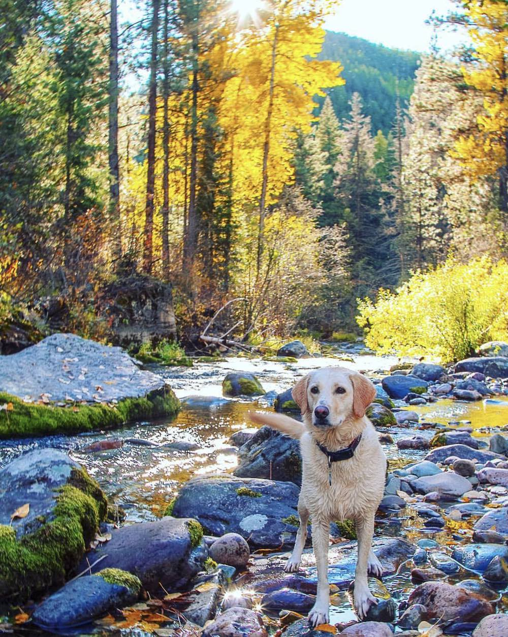 A dog playing on the river on a fall Missoula day.
